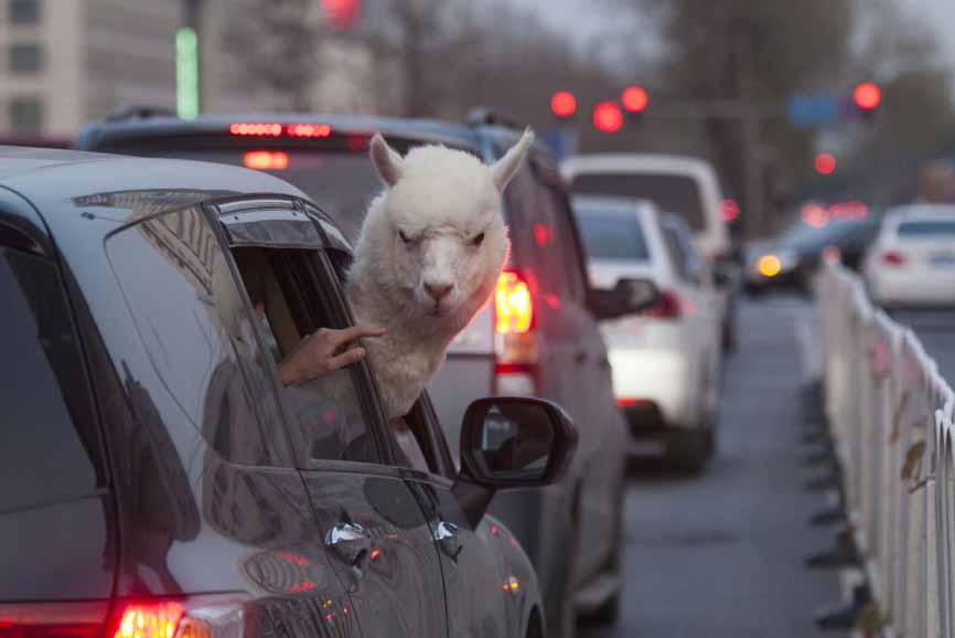 This alpaca is not happy with the neck room in his economy car